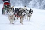 На Камчатке пройдет традиционная гонка на собачьих упряжках «Берингия-2016»