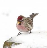 В Йошкар-Олу прилетели красивейшие птицы севера