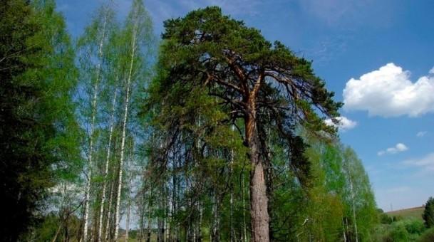 В Удмуртии нашли сосну, которой 340 лет